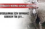 Bursa'da merinos koyununa büyük destek