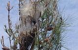 Ormanlar terminatör böceklerle korunuyor