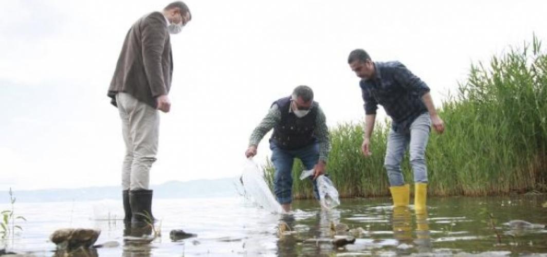 70 bin yavru sazan, İznik Gölü'ne bırakıldı
