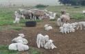 Büyükşehir'den 'Koyun Yetiştiriciliği Projesi'
