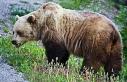 Ormanda ayı saldırısına maruz kalmamak için yapılması...