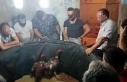 Nazilli'de horoz dövüştüren 19 kişiye 63...