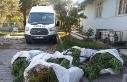 İzmir'de pamuk tarlasında 400 kök Hint keneviri...