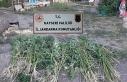 Kayseri'de 236 kök kenevir bitkisi ele geçirildi