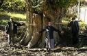 Dünyanın en yaşlı armut ağacı Artvin'de tespit...