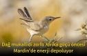 Dağ mukallidi zorlu Afrika göçü öncesi Mardin'de...