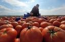 Çanakkale domatesi son turfanda hasadında üreticiyi...