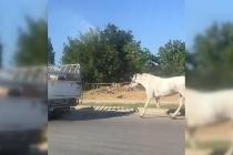 Kamyonetin arkasına bağlanan at, kilometrelerce koştu