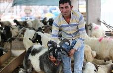 Bursa'da 5 boynuzlu koç ilgi odağı oldu