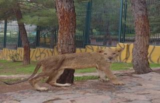 Cumhurbaşkanı'nın aslanları yeni evlerinde