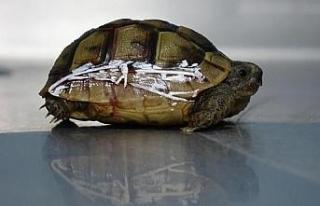 Kaplumbağanın kırılan kabuğu telle tutturuldu