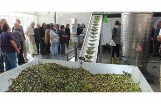 Balıkesir'de 60 yıllık zeytinyağı fabrikası...