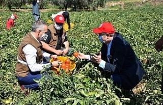Salihli Ovasında yerli domatesler hasat ediliyor