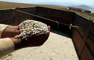 Bitlis'te kuru fasulye hasadı başladı; 30...