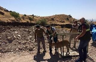 Tedavisi tamamlanan yaban keçisi, doğal ortamına...