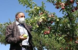 Bahçede yer tasarrufu sağladı: 2 tür elma aynı...