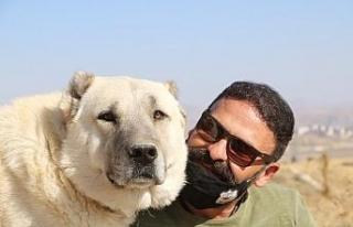 Çenesi 736 psi gücünde, koruma köpeklerinin lideri