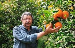 Finike portakalını aşırı sıcaklar vurdu