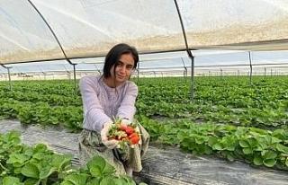 Antalya'da yılın ilk çilek hasadının heyecanı...