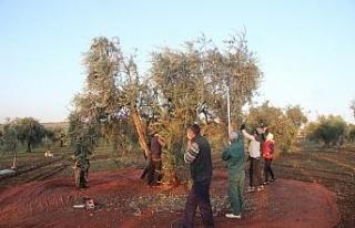 Kısıtlamadan muaf olan zeytin üreticileri hasat...