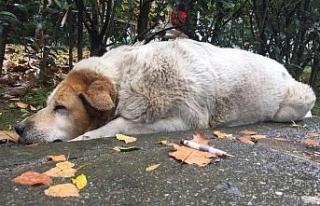 İzmit Belediyesi, köpeklerin öldürülmesi ile...