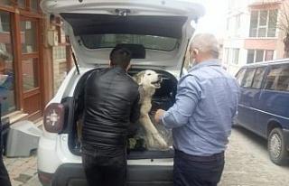 Yaralı köpek tedavi için özel izinle İstanbul'a...