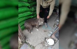 Yasaklı ırk köpekleri satarken yakalandı, 38 bin...