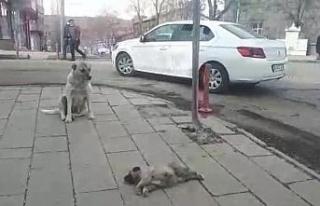Kars'ta ölen yavrusunun başında bekleyen köpek...