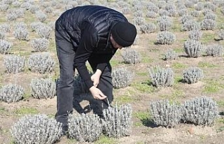 Lavanta tarlaları incelendi