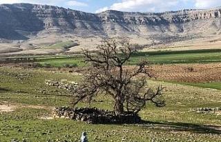 Mardin'de köylüler, 250 yıllık meşe ağacının...