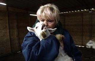 (Özel) Beslediği keçilerin ne etinden ne de sütünden...