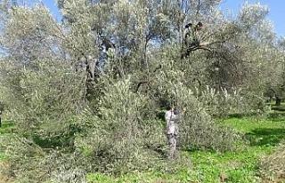 (Özel) Zeytin ağacının soğuk havaya da ihtiyacı...