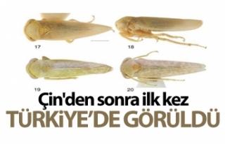 Bu böcek dünyada ikinci, Türkiye'de ilk defa...