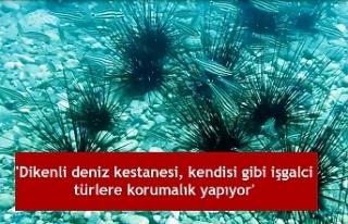 'Dikenli deniz kestanesi, kendisi gibi işgalci...
