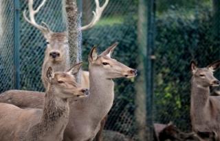 Sıcak havalar kızıl geyikleri de etkiledi