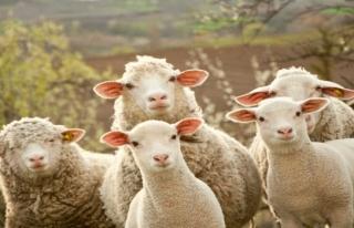 İznik'te bir adamın çalındı sandığı koyunları...