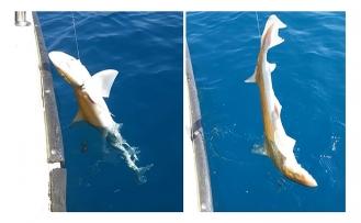 Oltasına  köpek balığı takıldı