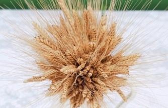 Siyes Buğdayı'nın serüveni belgesele konu oldu