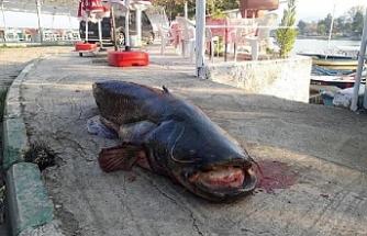Ağa 80 Kiloluk Balık Takıldı
