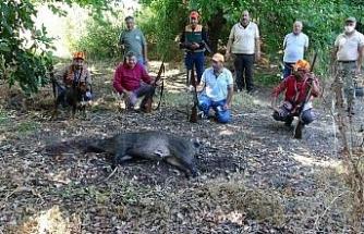 Ar-Ge bahçesine dadanan domuzlar için sürek avı