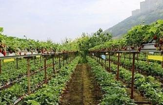 Topraksız çilek tarımıyla birim alandan kazancını dörde katladı