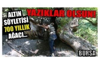 Bursa'da defineciler 700 yıllık ağaçları kesip yaktılar
