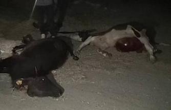 Araç çarpan 2 hayvan telef oldu