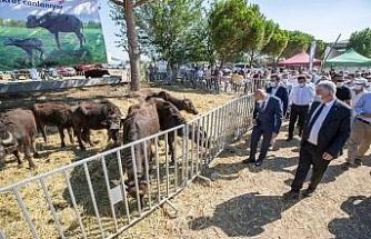 İzmir'de 22 üreticiye 73 manda hibe edildi