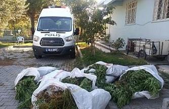 İzmir'de pamuk tarlasında 400 kök Hint keneviri ele geçirildi