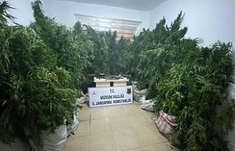 Mersin'de 361 kök kenevir bitkisi ele geçirildi