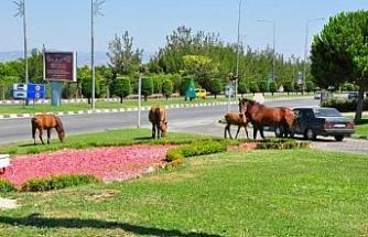 Yılkı atları şehre indi, sürücüler şaşırdı