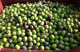 Mut'ta zeytin hasadı başladı
