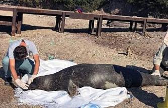 Akdeniz fokunun ölüm nedeni araştırılıyor