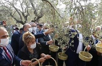 Hatay'da temsili zeytin hasadı